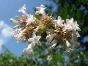 abelia-grandiflora-abelie-plante-flori-gradina-1