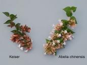 abelia-grandiflora-chinensis-abelie-plante-flori-gradina-1