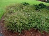 abelia-grandiflora-chinensis-abelie-plante-flori-gradina-10