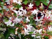 abelia-grandiflora-chinensis-abelie-plante-flori-gradina-11