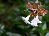 abelia-grandiflora-chinensis-abelie-plante-flori-gradina-12