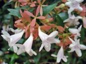 abelia-grandiflora-chinensis-abelie-plante-flori-gradina-2