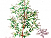 abelia-grandiflora-chinensis-abelie-plante-flori-gradina-3
