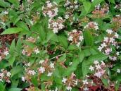 abelia-grandiflora-chinensis-abelie-plante-flori-gradina-4