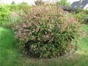 abelia-grandiflora-chinensis-abelie-plante-flori-gradina-6