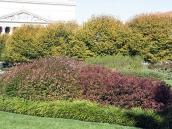 abelia-grandiflora-chinensis-abelie-plante-flori-gradina-7