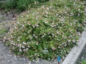 abelia-grandiflora-chinensis-abelie-plante-flori-gradina-9