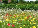 Amenajarea unei pajisti cu flori de camp – gazon cu flori