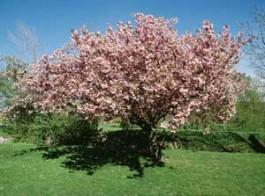 flori roz primavara cires inflorit