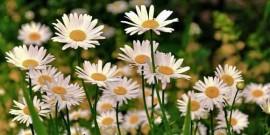 poze-imagini-flori-margarete