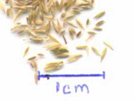 foto seminte iarba gazon agostis capillaris