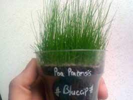 ghiveci cu iarba gazon poa pratensis