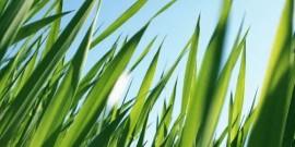 Gazon iarba – principalele soiuri de seminte