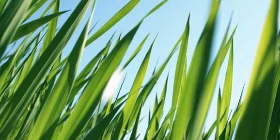 seminte-gazon-iarba