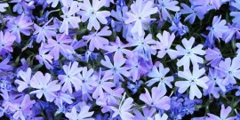 Brumarelele ( Phlox ) flori pentru gradinile romantice