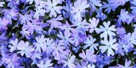 Brumarelele ( Phlox ) flori pentru gradinile romantice