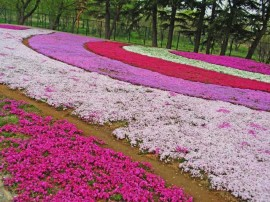 brumarele-scanteiute-phlox-flori-de-gradina-poze-imagini