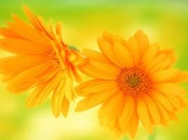 poze cu flori galbene de gradina