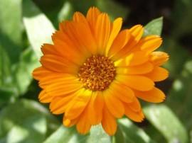 imagini cu galbenea floare galbena de gradina