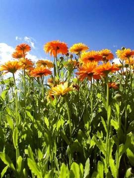 flori de gradina galbenel camp plin cu flori