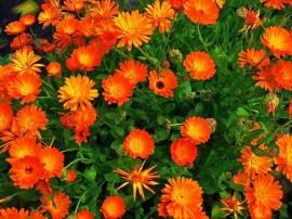 imagini cu un camp plin de flori de galbenele