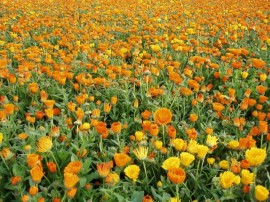 poze cu un camp plin de flori de gradina galbene
