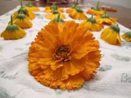 poze cu flori galbene asezate la uscat plante medicinale