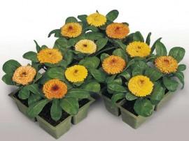 poze cu ghivece mici cu flori de gradina galbenele