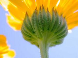 poza detaliu floare de galbenea calendula officinalis