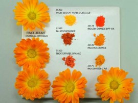 diferite nuante de pigmenti colorati obtinuti din petale de galbenele