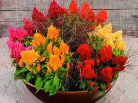 ghiveci cu flori de gradina celosia creasta cocosului