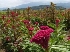 poze imagini cu flori de gradina creasta cocosului celosia