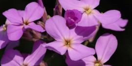 Micsuneaua – Micsandra – (Matthiola incana) – parfum subtil pentru noptile de vara