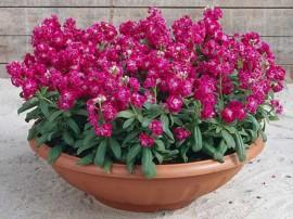 poze imagini Ghiveci cu flori de gradina parfumate micsandra micsuneaua matthiola incana