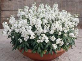 poza imagine Ghiveci cu flori albe parfumate matthiola incana micsandra micsuneaua