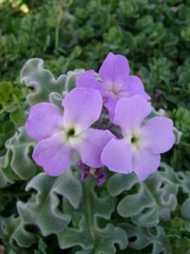 poza macro Flori parfumate pentru gradina matthiola incana micsuneaua micsandra