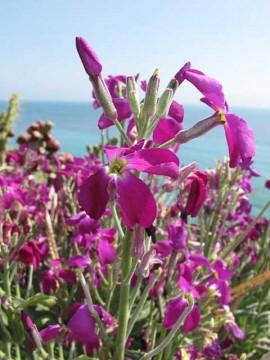 poza imagini Flori de gradina parfumate micsandra matthiola incana micsuneaua