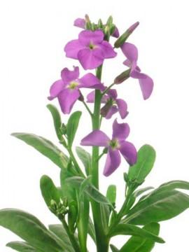 flori-de-gradina-micsuneaua-Matthiola-incana