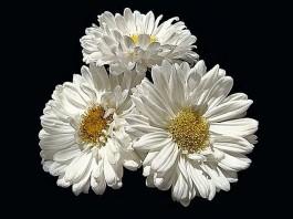 poze cu flori albe de gradina detaliu ochiul boului