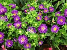 poze cu flori mov de gradina ovhiul boului