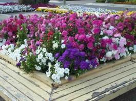 poze cu flori multicolore de gradina