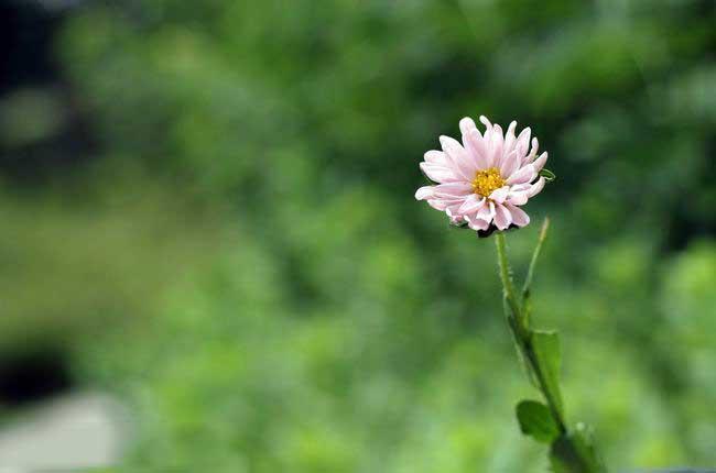 floare alba de gradina