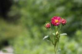 poze cu flori rosii ochiul boului