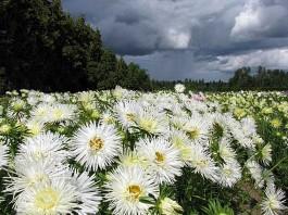 imagini cu flori albe in camp Ochiul boului