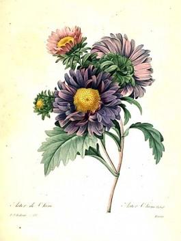 desen cu flori de gradina ochiul boului