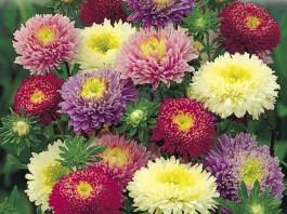 imagini cu flori de gradina ochiul boului
