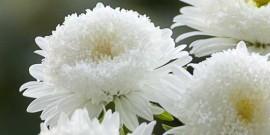 Ochiul boului – Callistephus – floarea cu cea mai frumoasa cununa de petale