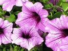Petunia  floare ideala pentru gradini,  balcoane si terase