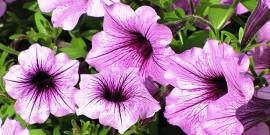 Petunia – floare ideala pentru gradini,  balcoane si terase