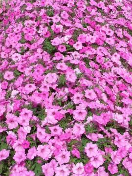 petunia-hybrida-flori-curgatoare-de-gradina pentru balcon